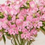 alstramerijos, gėlės Klaipėdoje