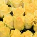 geltonos rožės Klaipėdoje