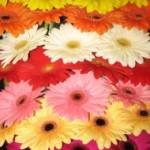 įvairių spalvų gerberos Klaipėdoje