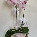 phalaeonopsis orchidėja