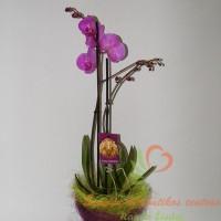 Vazoninė orchidėja Klaipėdoje