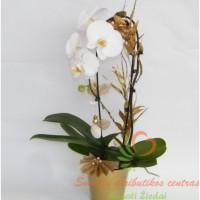 Kalėdinė orchidėja
